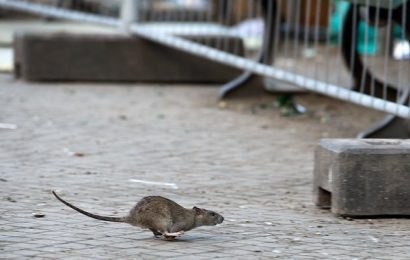 US authorities warn of rats Wars: rodents in large cities are becoming more and more aggressive