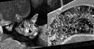 Silly cat nearly died after sneakily eating hairbands and bits of string