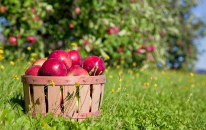 Coronavirus outbreak at Vermont apple orchard sickens dozens of migrant workers