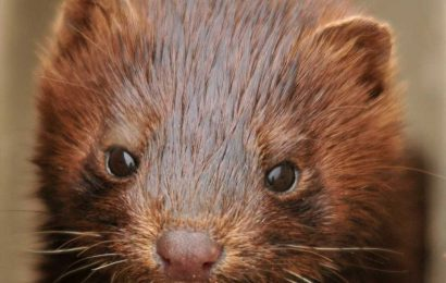 Danish corona mink mutation 'most likely eradicated': ministry