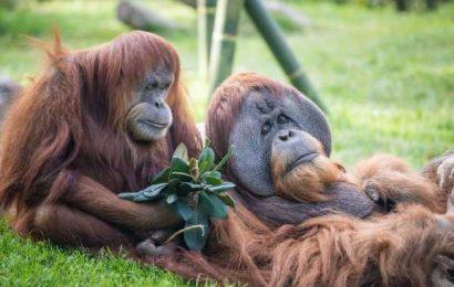 Orangutans and bonobos at US zoo get experimental COVID-19 vaccine