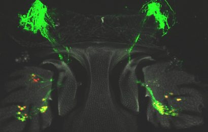 Fruit flies can regenerate their hearing cells—can that help people?