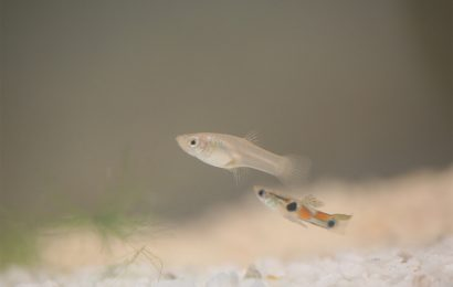 Guppy research shows ADHD drugs can affect later generations