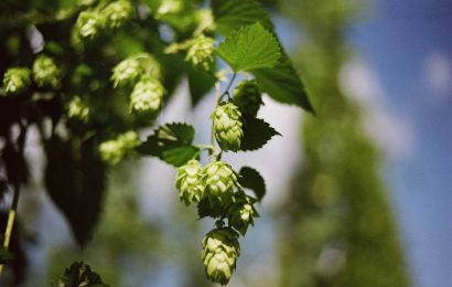 Hops show promise in treating liver disease